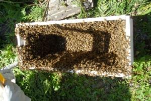 5 frame nuc with swarm