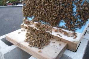 bearding on the hive
