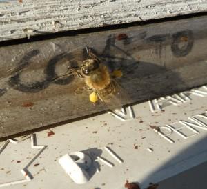 Pollen Sacs