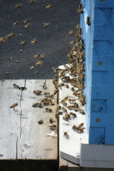 Lots of bees April 20